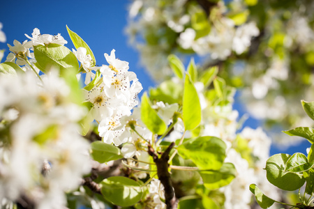 Macro shots of white cherry flowers shot on a bright sunny day with a blue sky and soft bokeh in the background.