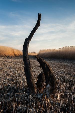 오데사, 우크라이나에서 Kuyalnik 소금 호수에 구운 된 리드 필드와 죽은 나무의 프리 샷. 화창한 봄 날에 쐈어.