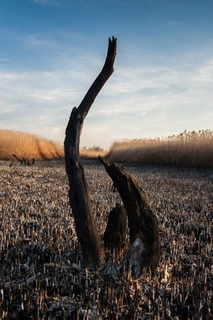 Landscape shots of the burned down reed fields and dead trees on the Kuyalnik salt lake in Odessa, Ukraine. Shot on a sunny spring day Archivio Fotografico