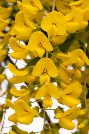 Macro closeup shot of bright yellow acacia blooming flowers. Shot on a sunny summer day