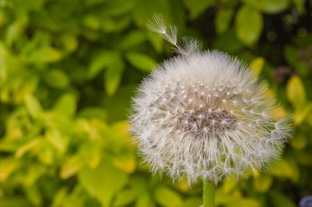 Macro shot of dandelion seeds blowing away shot on a sunny summer day Standard-Bild