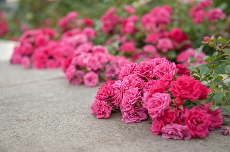 Pink roses growing in the gardens of Pechersk Lavra Monastery in Kiev, Ukraine. Shot with soft evening light. Lots of summer roses 版權商用圖片