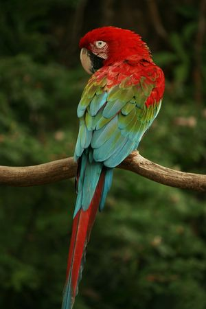 quaker: Red Headed Parrot Stock Photo