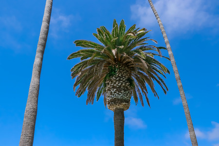 The Plam trees are by the beach in California. One plam tree is in the frame of  two plam trees.