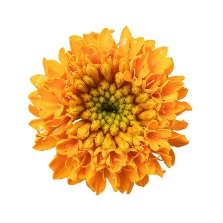 Marigold flowers are large , On a white background
