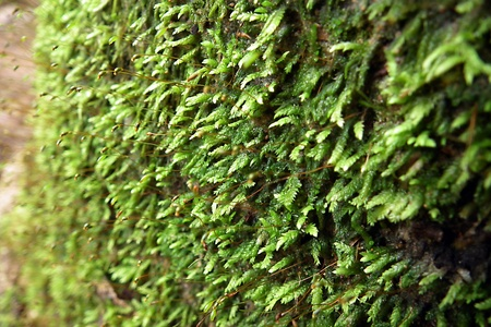 Moss on the  rubber tree , south of Thailand