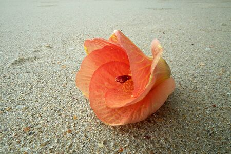 Orange flowers on the beach, south of Thailand Stock Photo