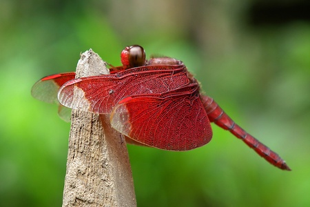 Red Dragonfly in the Garden, Southern, Thailand Stock Photo