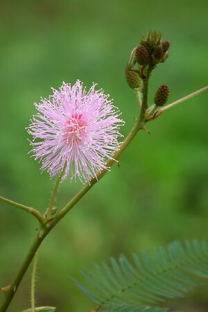 Mimosa flowers in the morning.