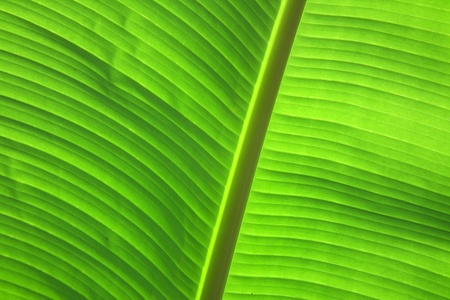 Banana leaf with a light shining from behind.