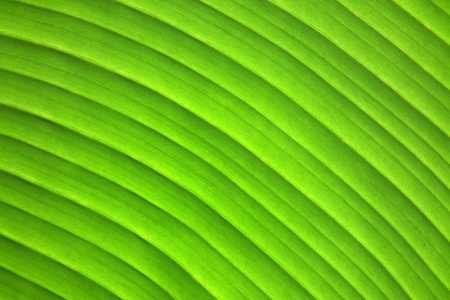 Wavy lines of a banana leaf. photo