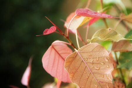 banyan: Water drops on banyan leaves