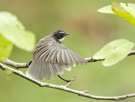 insectivorous: Fantails are small insectivorous birds of Australasia, Southeast Asia and the Indian subcontinent belonging to the genus Rhipidura in the family Rhipiduridae.