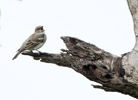palustris: Marsh Warbler, Acrocephalus palustris in the nature Stock Photo