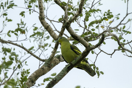 widespread: The pompadour green pigeon is a pigeon complex in the genus Treron. It is widespread in forests of southern and southeast Asia.