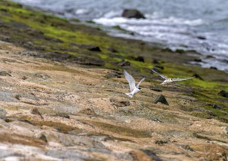Terns catching prey and flying along the coastal regions in Singapore