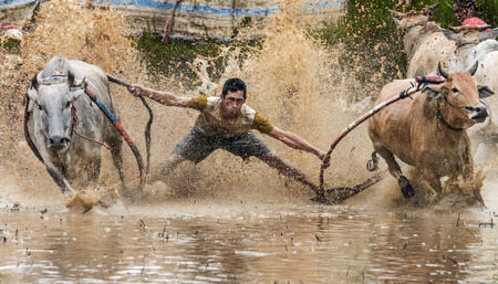 WEST SUMATRA, INDONESIA - AUGUST 01 2015: A jockey riding bulls across the muddy paddy fields in their traditional bull racing festival also known as 'Pacu Jawi bull Race' on August 01, 2015 in a small village in West Sumatra, Indonesia.
