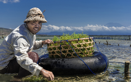 Nusa Penida, Bali Indonesia - September 2015: Indonesian farmers grow seaweed in a traditional method. Indonesian farmer collecting grown seaweeds in a basket from his sea farm, Nusa Penida, Indonesia