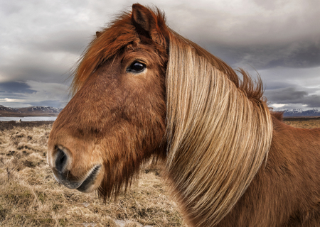 Well groomed Icelandic horse in an open field, Iceland