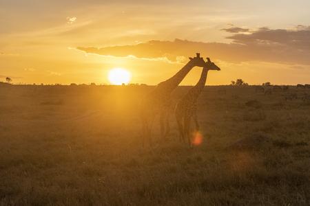 Silhouet van mannelijke en vrouwelijke giraf bij zonsondergang in het nationale park Maasai Mara Mara Stockfoto