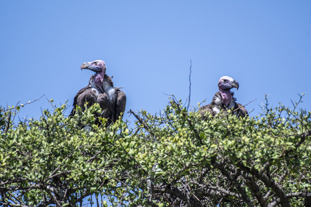 Lappet Faced Vultures on tree top, Masai Mara National Reserve Stock Photo