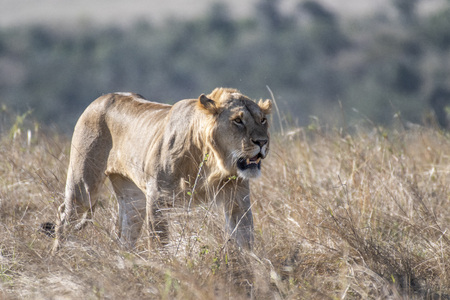 lioness walking alone in daytime in Maasai Mara Stock Photo