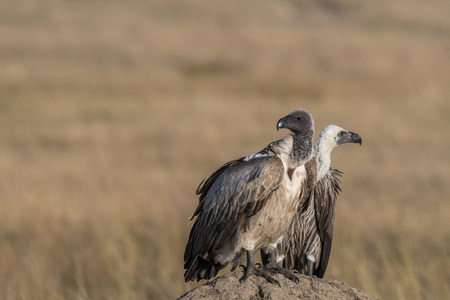Pair of african white backed vulture looking for prey in Maasai Mara