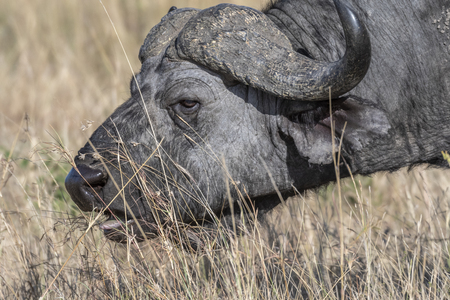cape buffalo feeding on dry grass alone in Maasai Mara