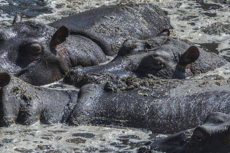 Hippos resting in muddy water under hot sun in Maasai Mara