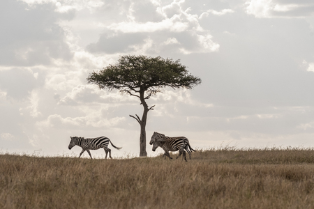 Zebras grazing under tree, Maasai Mara Фото со стока