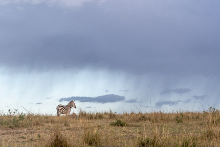 zebras grazing in Maasai Mara triangle, Kenya