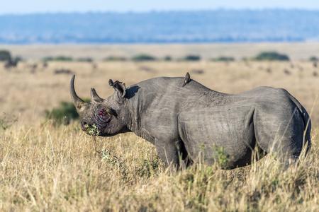Nosorożec krwawi po walce i ptaki latające na jego grzbiecie w Masai Mara