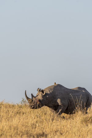Big Rhino feeding grass on a quite morning in Maasai Mara national reserve