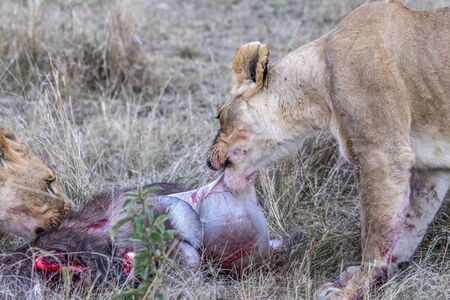 Two lioness eating the flesh of waterbuck in Maasai Mara triangle after hunting Imagens