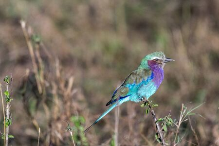 Lilac-breasted roller holding on to small twig in Maasai Mara triangle