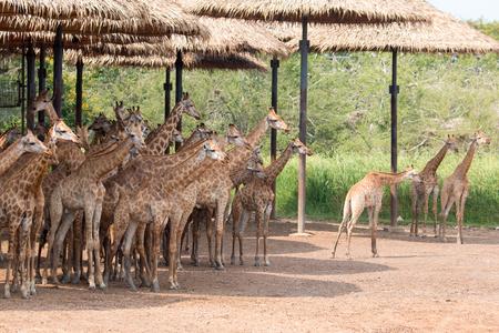 A group of giraffe
