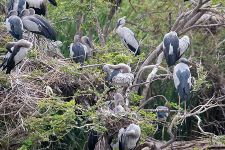 oscitans: Group of Openbill birds on tree Stock Photo