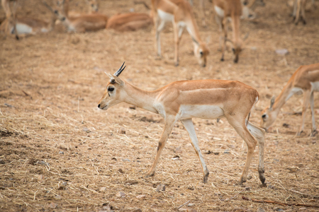 naivasha: Impala antelopes Stock Photo