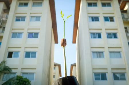 The beginning of life: Afzelia xylocarpa seed is germinating and growing between the condominium building in the city
