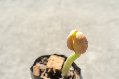 The beginning of life: Afzelia xylocarpa seed germinating and growing by Stand out, challenge, brave