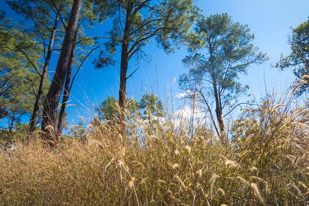 Thung Salaeng 루앙 국립 공원의 Thung Nang Phaya는 태국의 사바나 전망과 소나무 숲 인 초원 지역입니다. 정글 어드벤처. 스톡 콘텐츠