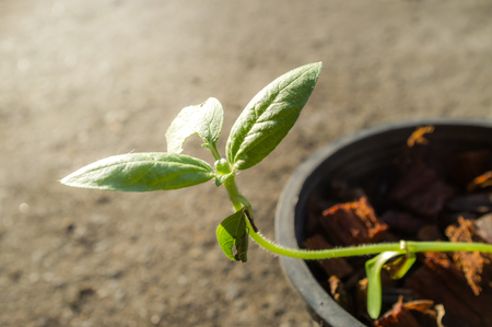 The beginning of life like Sunflower seed germination and growing must face obstacles, trouble, difficulty, eating worm and Insect eating