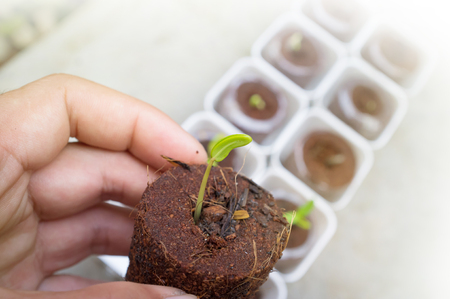 We plant trees with our hands: Sunn hemp seed Sunflower seed germinating. Plants can add a lot of organic character to an otherwise drab office environment. Stock Photo