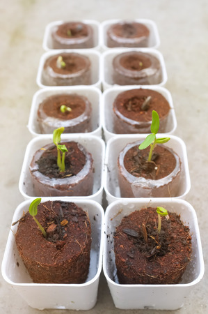 Seed germination: Sunn hemp seed Sunflower seed germinating. Plants can add a lot of organic character to an otherwise drab office environment. Stock Photo