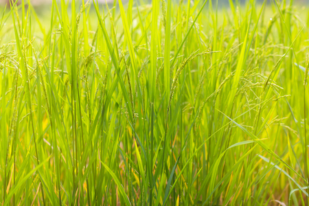 Rice field with rice price slump situation Stock Photo