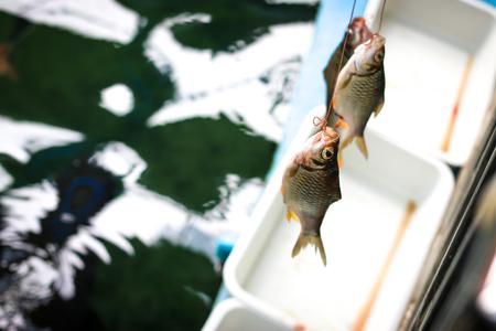 Big fish eat small fish. Carp is a Arapaimas prey. Catch fish.