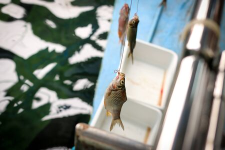 Big fish eat small fish. Carp is a Arapaima's prey. Catch fish.