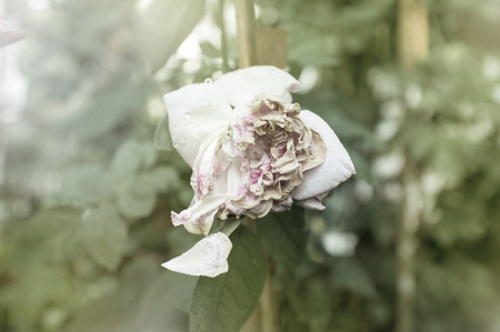 White rose withered Stock Photo