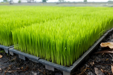 Intelligent Technology Smart Farming, Modern agriculture management for rice paddy field in Thailand Фото со стока