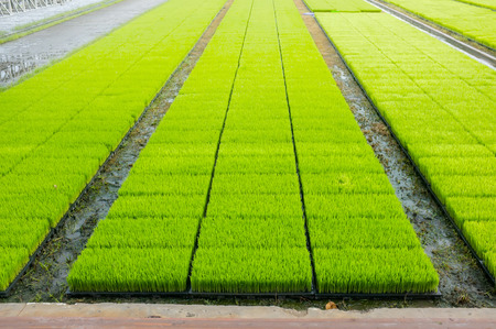 Intelligent Technology Smart Farming, Modern agriculture management for rice paddy field in Thailand 版權商用圖片